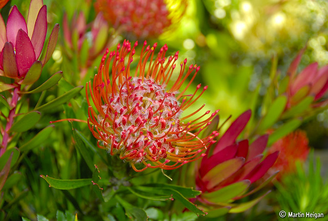 Pincushion Protea Pincushion Protea flow...