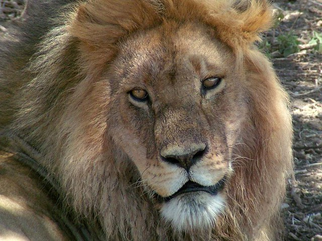 Adult Male Lion Face | This magnificent beast laid in the ...