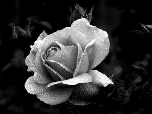 Black and White Rose | This image has been digitally ...