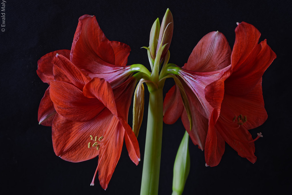 Amaryllis nikon pc e 85mm 2 8 alzheimer1 flickr for Fleurs amaryllis loncin