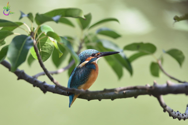 Common_Kingfisher_0076