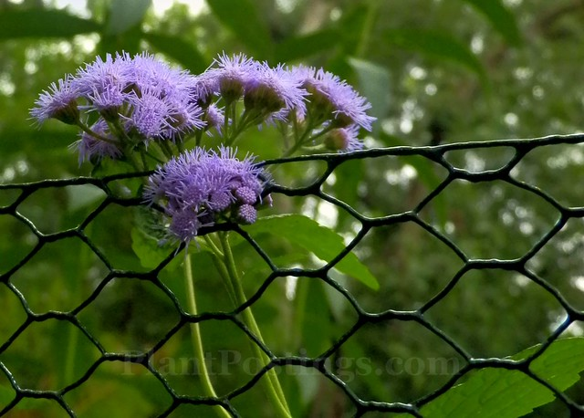 mistflower caged
