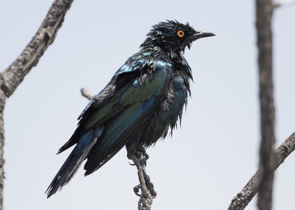 Cape Glossy Starling   Lamprotornis Nitens