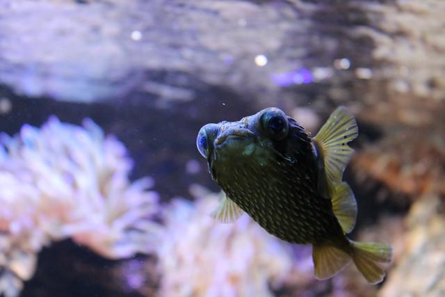 Glupschaugenfisch
