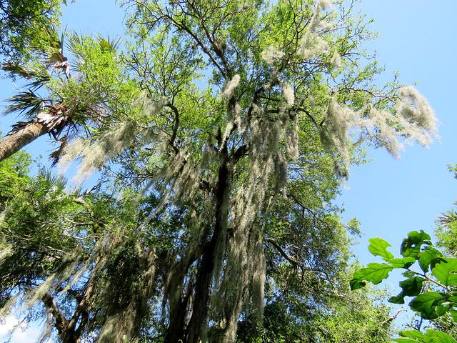Trees (Sabal Palm Sanctuary)