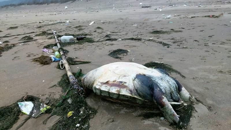 下寮海灘死亡的赤蠵龜。照片提供:新北市動保處。