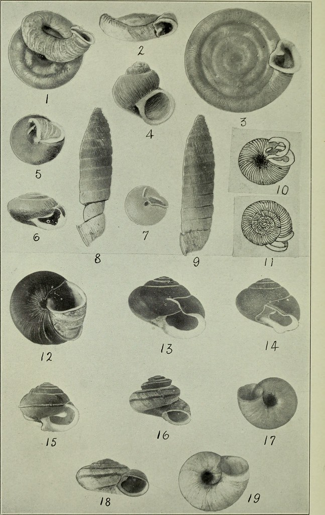 Image From Page 229 Of The Conchologists Exchange 1886