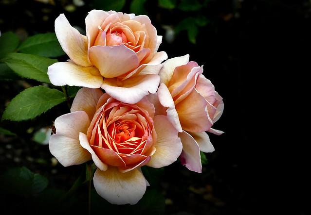 "Rose ""Grace"""