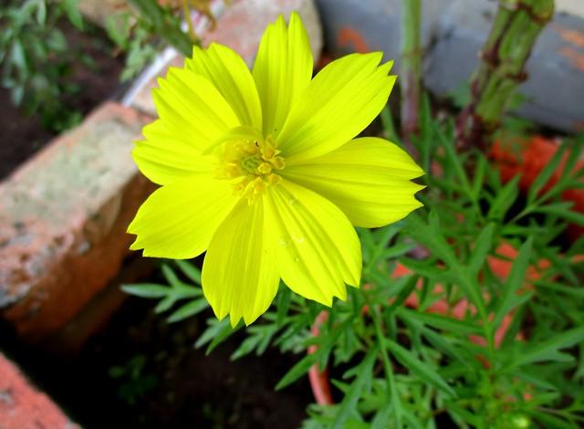 Ulam raja, yellow