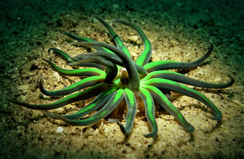 Green Anemone - Pipeline - Nelson Bay - 17th November 2016.