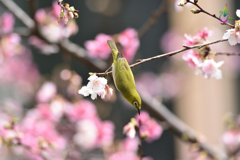 Sakura_White-eye_9161
