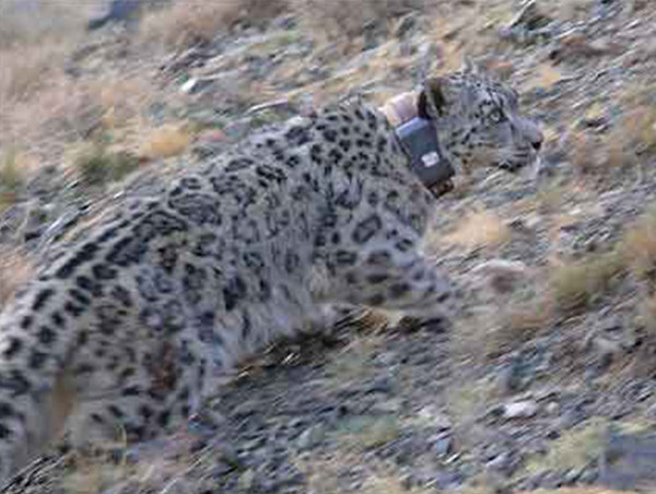 ① the Snow Leopard survival crisis: food 30% from the herders of cattle and sheep, revenge killing never stopped