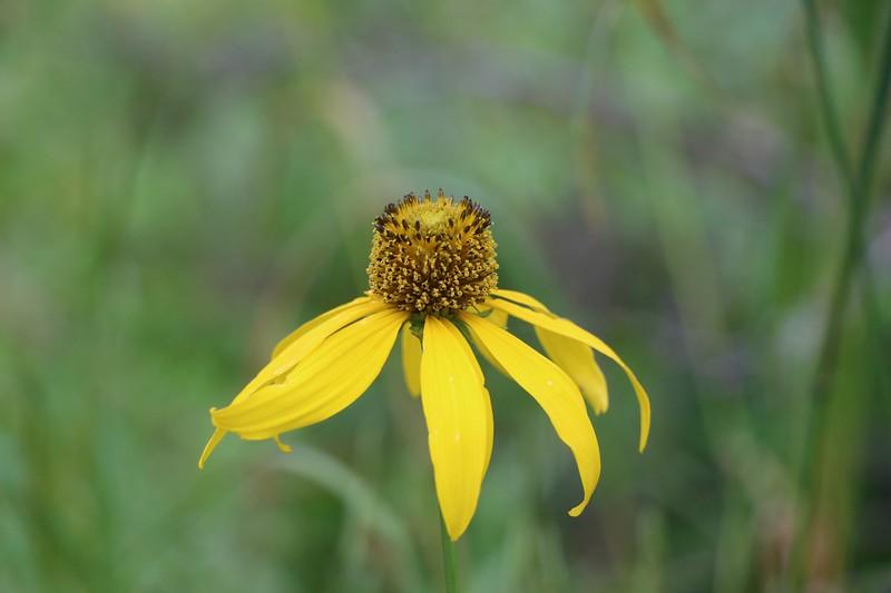 Tall Coneflower Flower (Rudbeckia laciniata)
