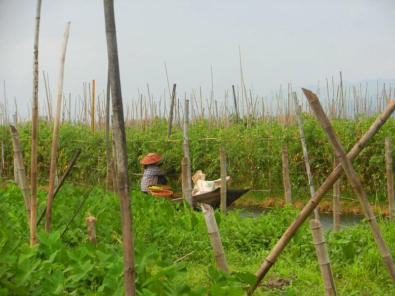 Так растут помидоры. Инле , Мьянма