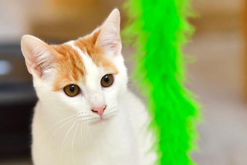 Gary, gatito blanco y naranja cruce Van Turco esterilizado muy activo nacido en Julio´16, en adopción. Valencia. ADOPTADO. 31590420951_84e29721e2