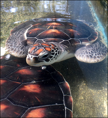 Turtle at Thai Mueang Coastal Resources Research Center