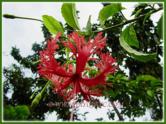Hibiscus schizopetalus (Japanese Lantern, Japaneses Hibiscus, Fringed Rosemallow, Coral/Spider Hibiscus) with bright red flower, 9 Nov 2011
