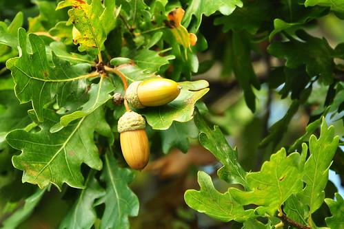 Eiche Stieleiche Stiel-Eiche Quercus robur Früchte Fruchtstand gestielt Stiel Foto Brigitte Stolle Oktober 2015