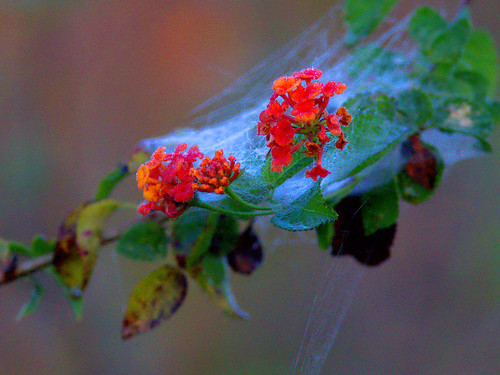 Lantana blossoms wrapped in spider silk original 20170214