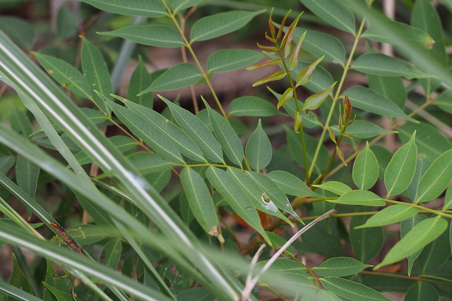 Japanese Wax Tree (Toxicodendron succedaneum)