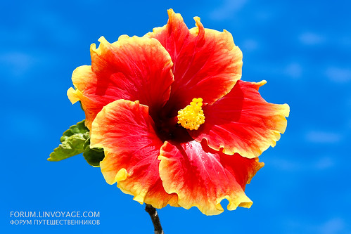 Beautiful Hibiscus at blue sky background           THX_2673bs | by forum.linvoyage.com