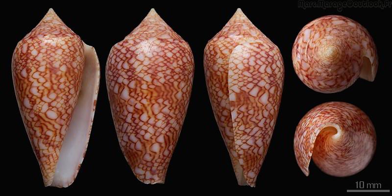 Conus (Cylinder) archiepiscopus  Hwass in Bruguière, 1792 - Page 4 32616604654_a600aec8ec_c
