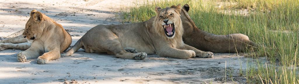 Löwen am Kanana Airstrip