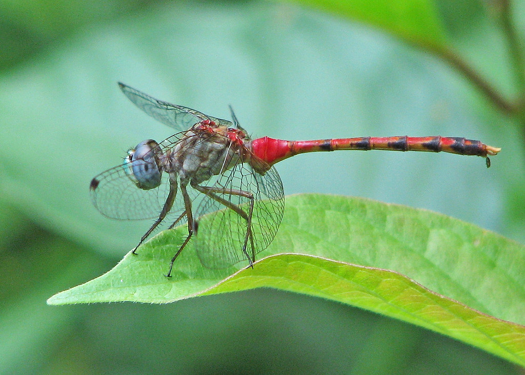 Blue-faced meadowhawk, male - just out (Sympetrum ambiguum… | Flickr