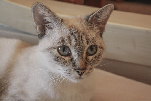 FALLECIDA- Violeta, gata siamesa tabby dulcísima esterilizada, nacida en Agosto´13, en adopción. Valencia. 21649445783_2162eff5b8