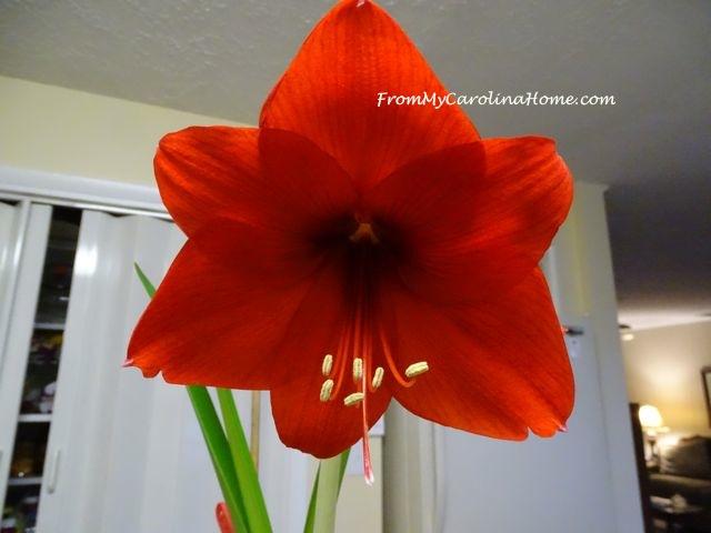 Amaryllis Bulb Year 4 at From My Carolina Home