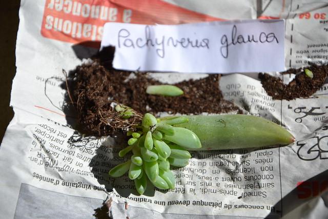 Pachyveria 'Béa' vs Pachyveria 'Glauca' 32924354991_e5ea3ca338_z