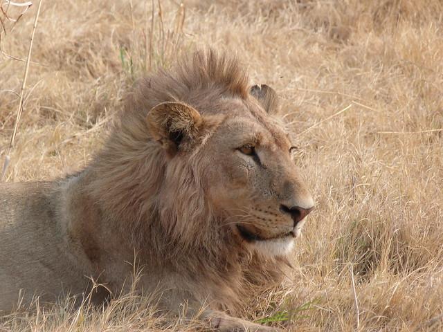 León joven en Moremi (Botswana)