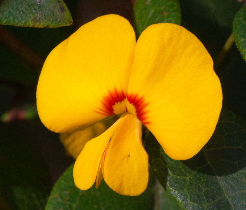 Yellow And Red Pea Flower This Pea Flower Dillwynia Reto Flickr