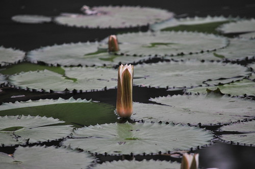 water lily pads, Royal Senchi