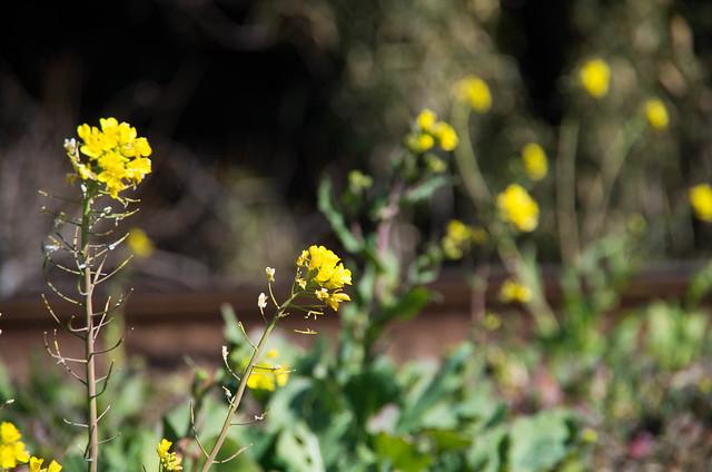 鐵道レールと菜の花