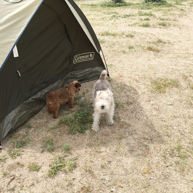 campground dogs