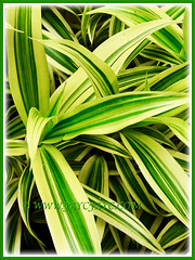 Gorgeous leaves of Dracaena reflexa 'Song of India' (Pleomele, Dracaena reflexa variegata, 'Song-of-India', Reflexed Dracaena), 6 Nov 2011