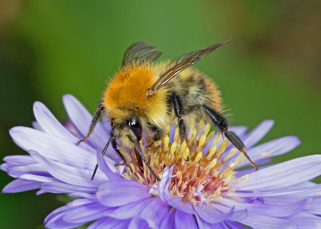 Brown-Banded Carder Bee (bombus Humilus)