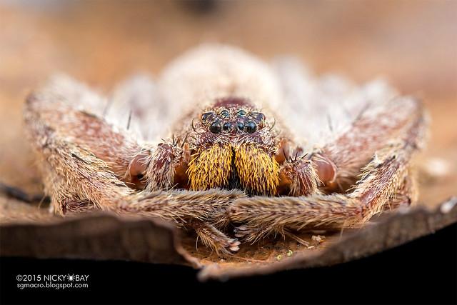 Huntsman spider (Sparassidae) - DSC_9918