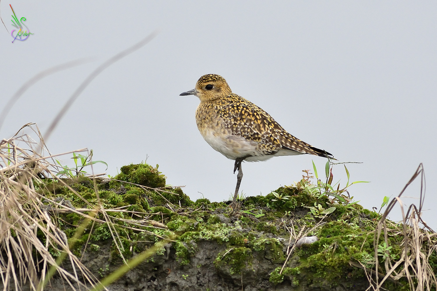Pacific_Golden_Plover_6296