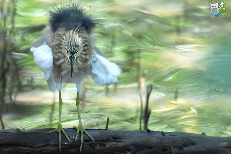 Javan_Pond_Heron_2092