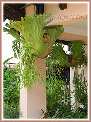 Platycerium coronarium (Staghorn Fern, Stag's Horn Fern, Crown Staghorn, Disc Stag's Horn Fern, Elkhorn Fern) in the neighbourhood, 27 May 2010