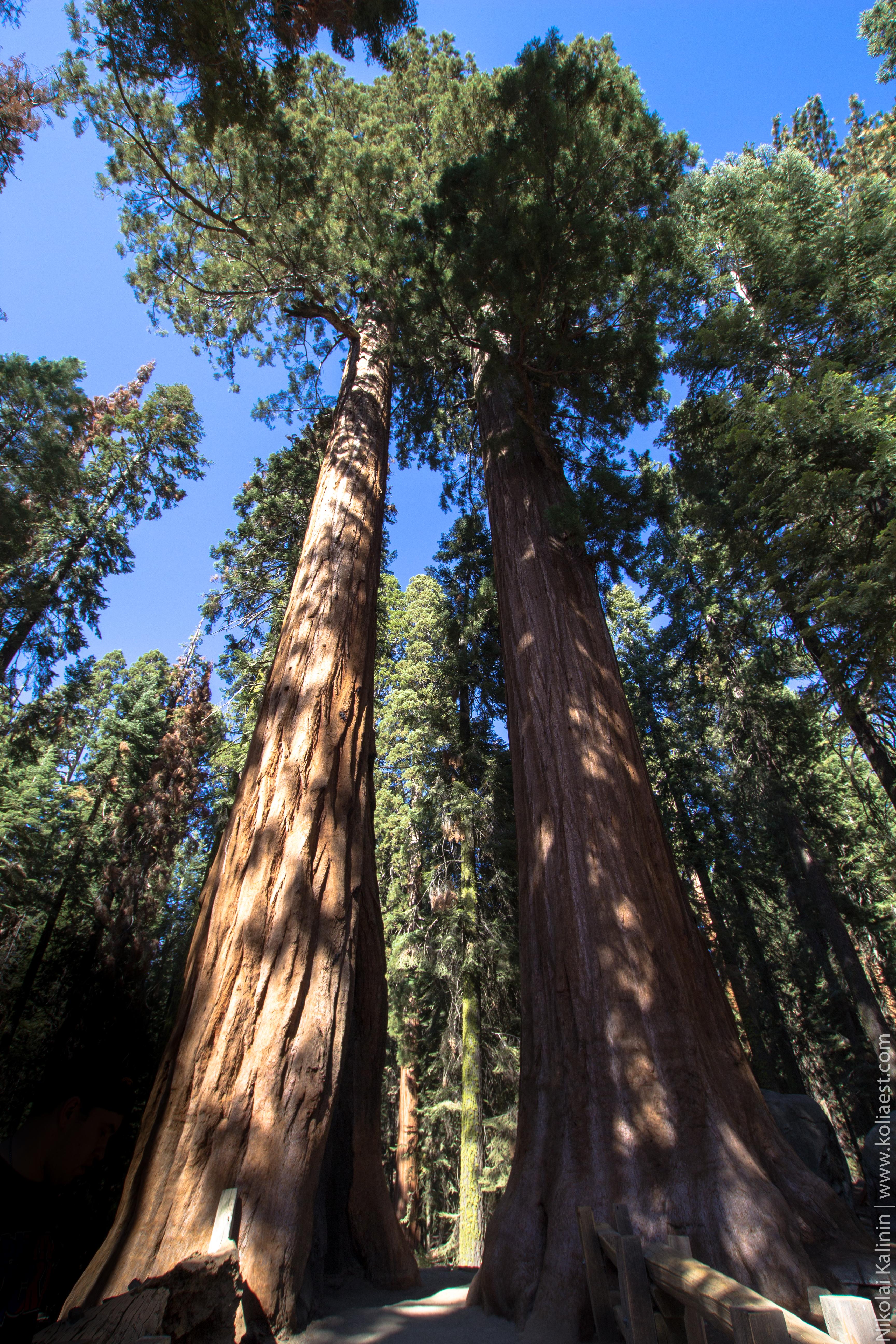 Sequoia-62-3