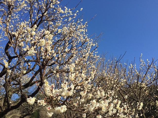 Atani The Plum Flower Festival