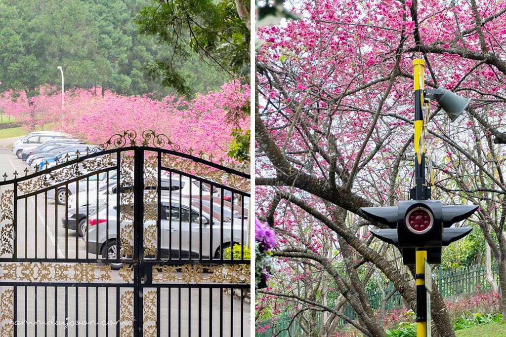 cherry-blossom-park