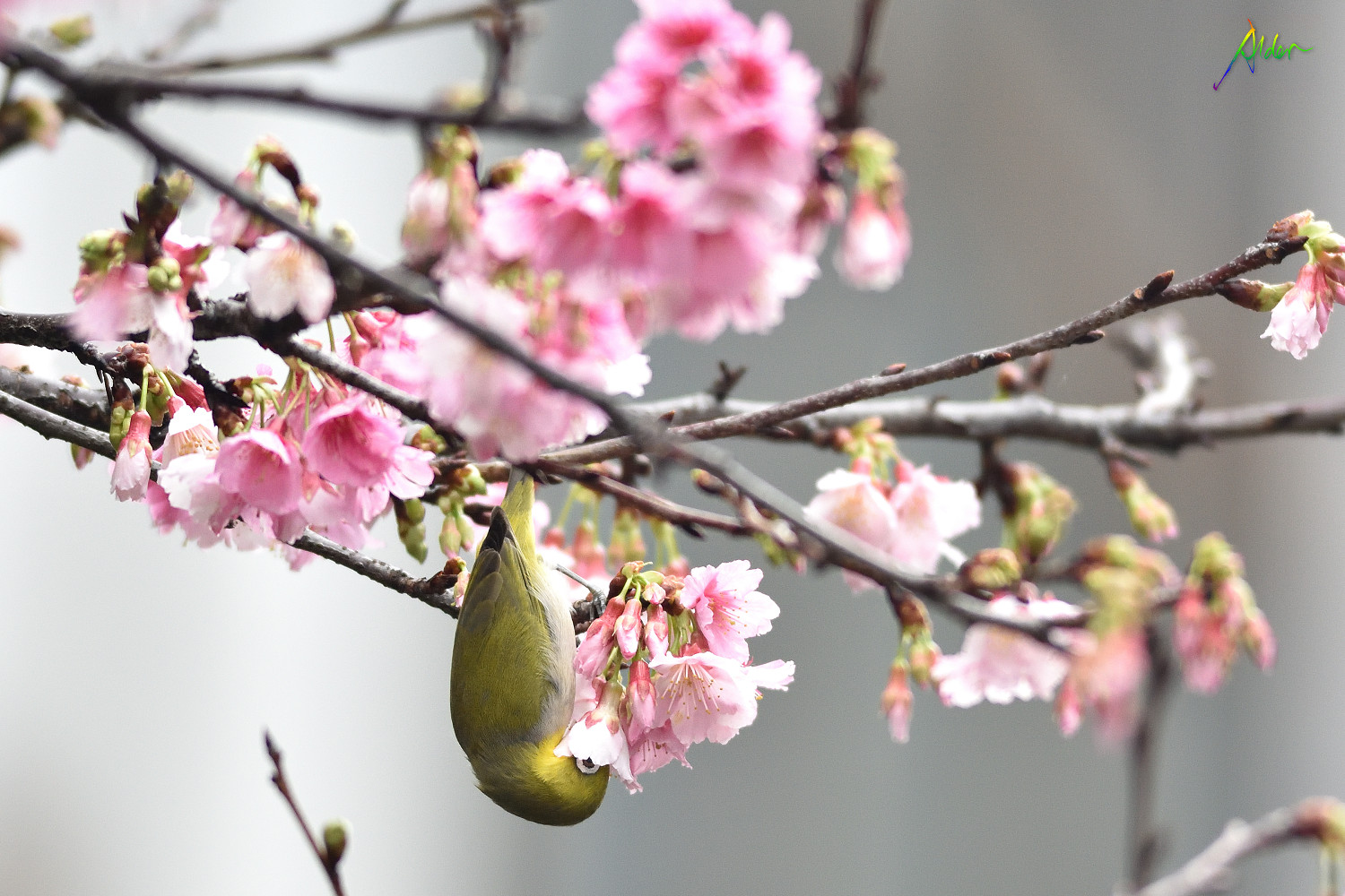 Sakura_White-eye_8634