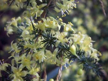 Asparagus acutifolius 33340202261_663169d0fb_o