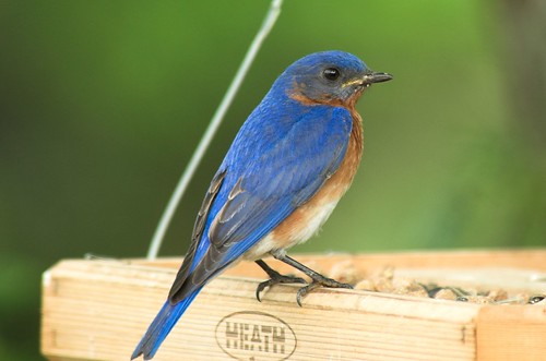 Blue, Blue, Blue-Bird | by Momba (Trish)