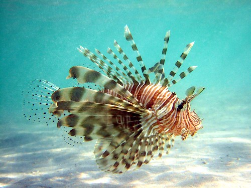 lionfish | by jayhem