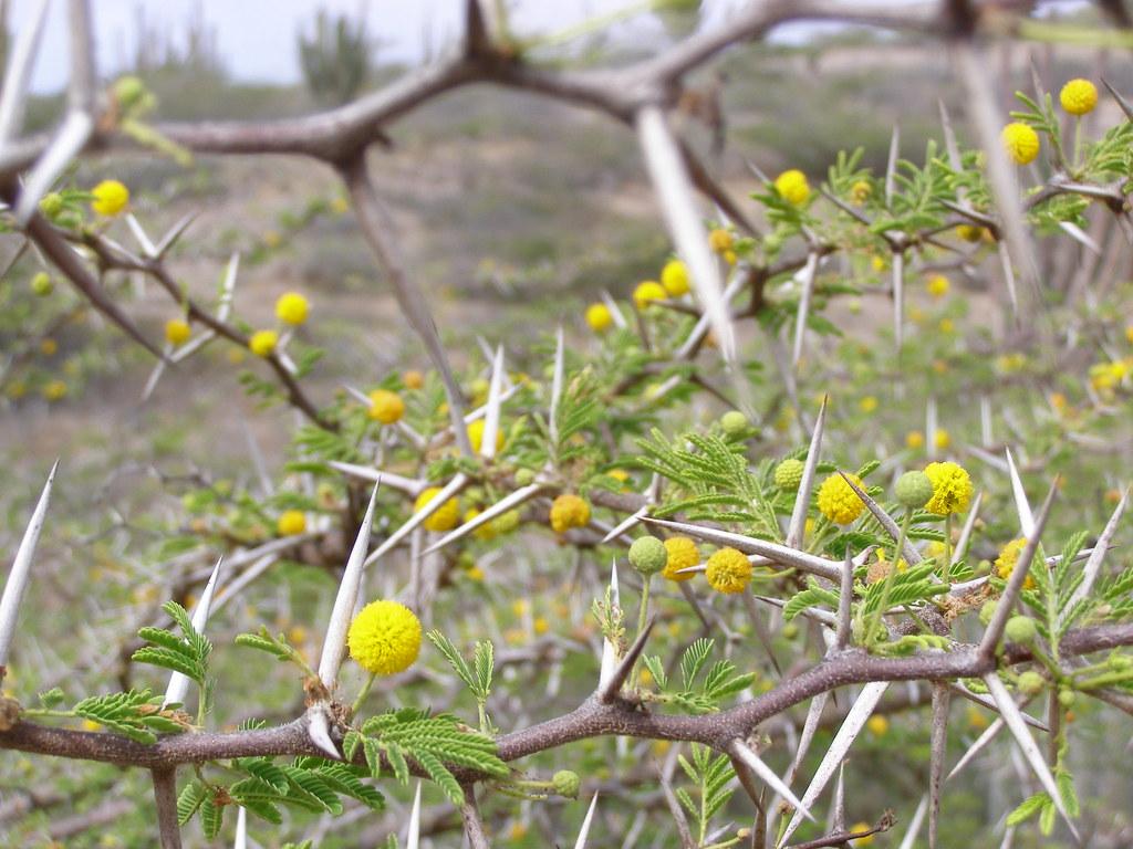 Hubada Acacia Tortuosa A Defensive Tree Els